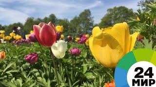Смотреть видео Сотни тысяч цветов: как проходит фестиваль тюльпанов в Санкт-Петербурге - МИР 24 онлайн