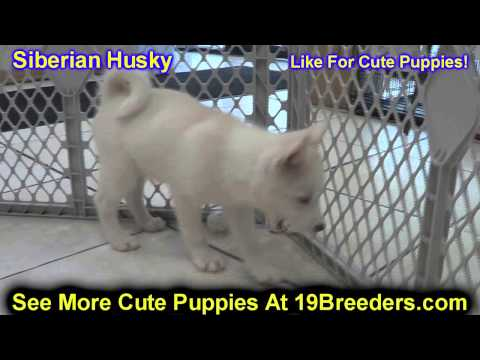Siberian Husky, Puppies, For, Sale, In, Portland, Oregon, OR, McMinnville, Oregon City, Grants Pass,