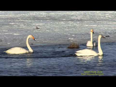 SÅNGSVAN  Whooper Swan  (Cygnus cygnus)  Klipp - 1499