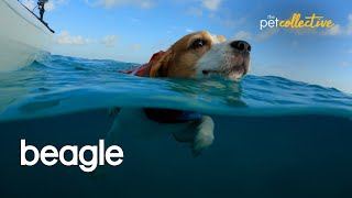 The Very Best Beagle Dogs