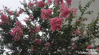 Dâm cành hoa Tường Vi sống 100%
