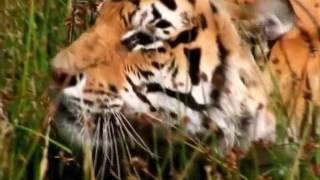 Лев против тигра(, 2017-02-11T13:09:17.000Z)