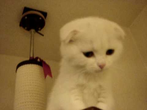 Thumbnail for Cat Video Squeaky Scottish Fold