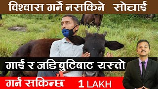 Agriculture in Nepal Cow Farming best business ideas in Nepal | गाई पालन गरेर कसरि धनि बन्न सकिन्छ ?