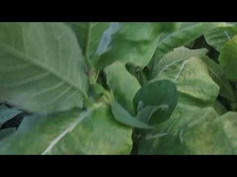 Обзор сорта Турецкий (от Ушакова) - купить семена табака