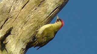Green Woodpecker at Tehidy Woods - Pic Vert