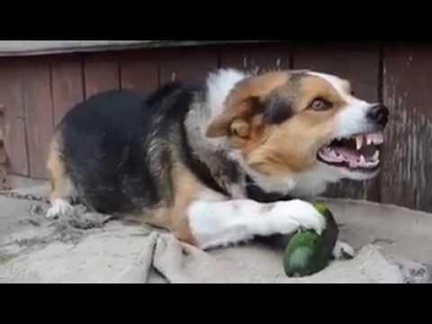 Собака вегетарианец.