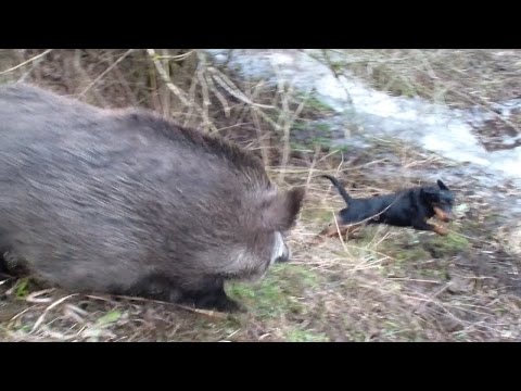 When wild boars attack, all is running
