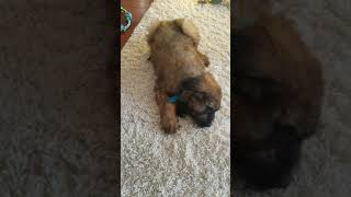 9 week old Briard puppy loves his carrot