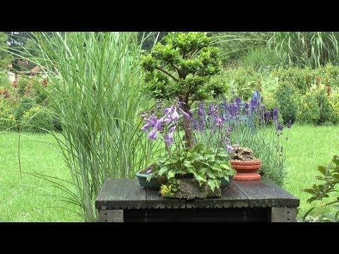 Moos vermehren für Bonsai und zur Dekoration Moss for Bonsai
