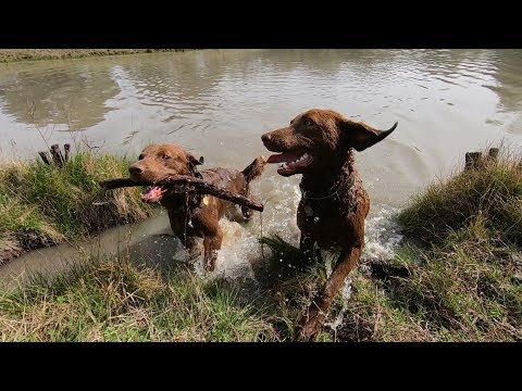 Chesapeake Bay Retriever Country Running - EP 28