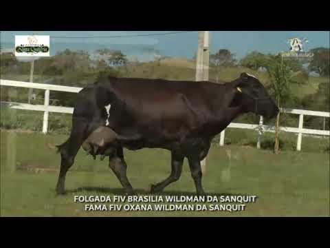 LOTE 36 FOLGADA FIV BRASILIA WILDMAN DA SANQUIT   FAMA FIV OXANA WILDMAN DA SANQUIT