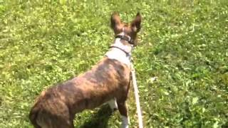 Sophie Bull Terrier, Working Through Dog Aggression