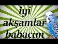 İYİ AKŞAMLAR BABACIM Papağan ve Muhabbet Kuşu Konuşturma Sesi Ses Kaydı 1 SAAT