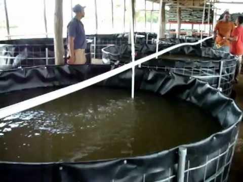 Siete dias 67 producci n de alevines de cachama funnydog tv for Tanques para cachamas