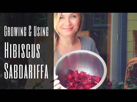 Nature's Kool-Aid: Vitamin C Roselle / Hibiscus Tea