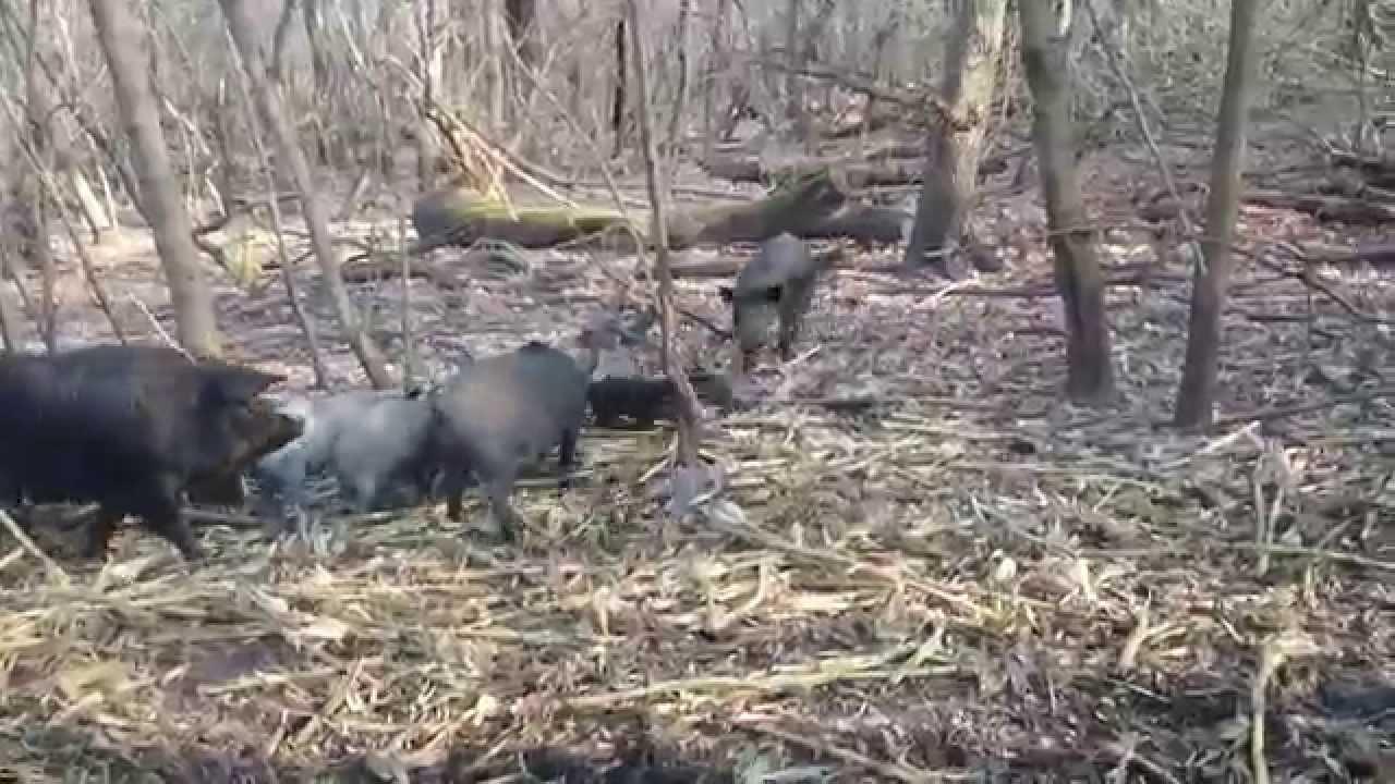 Охота с ягдтерьером, щенки 1 месяц ,уже рабочие))))) - YouTube