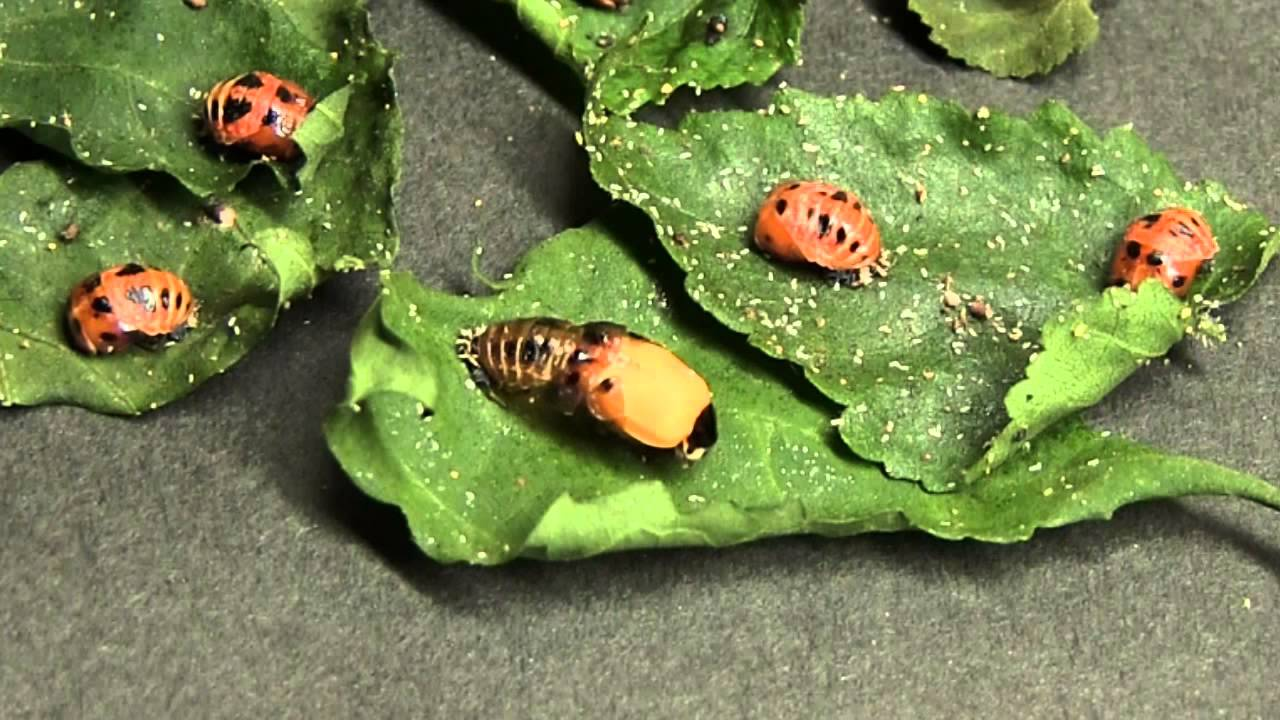 てんとう 虫 さなぎ てんとう虫 幼虫 から 蛹 さなぎへ