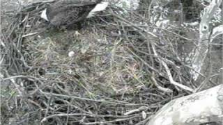 Video Shepherdstown eagle and egg 2-7-11 357 pm EST download MP3, 3GP, MP4, WEBM, AVI, FLV November 2018