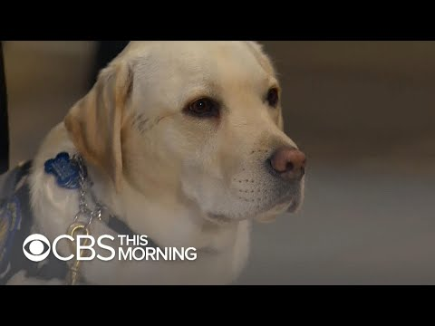 Sully, former service dog to President George H.W. Bush, prepares for next mission