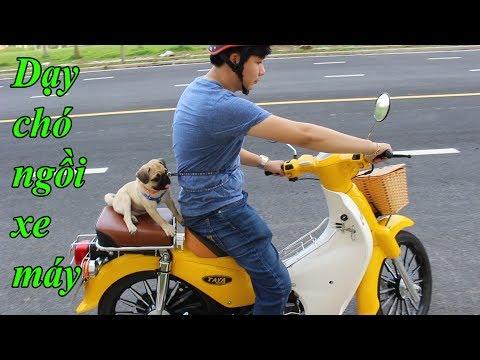Dạy Chó Ngồi Xe Máy - Lần đầu đi Xe Của Chó Pug - Pugk Vlog