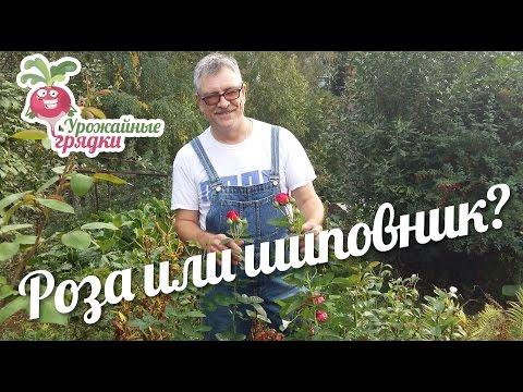 Как определить - роза или шиповник? #urozhainye_gryadki