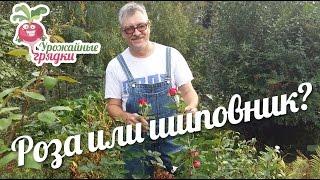 видео Шиповник садовый декоративный: посадка и уход, размножение