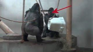 Crazy 400 Pound Gorillas - It's My Turn To Do Laundry!!!