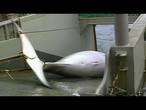 Japan is killing whales again