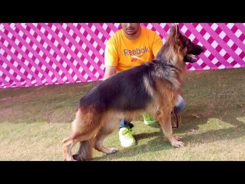 German Shepherd dog breed traning video || Rajasthan kennel ||