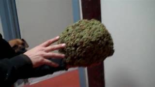 sensiseeds.com Marijuana : Bob Marley : 1POUND OF REAL JAMAICAN LAMBS BREAD