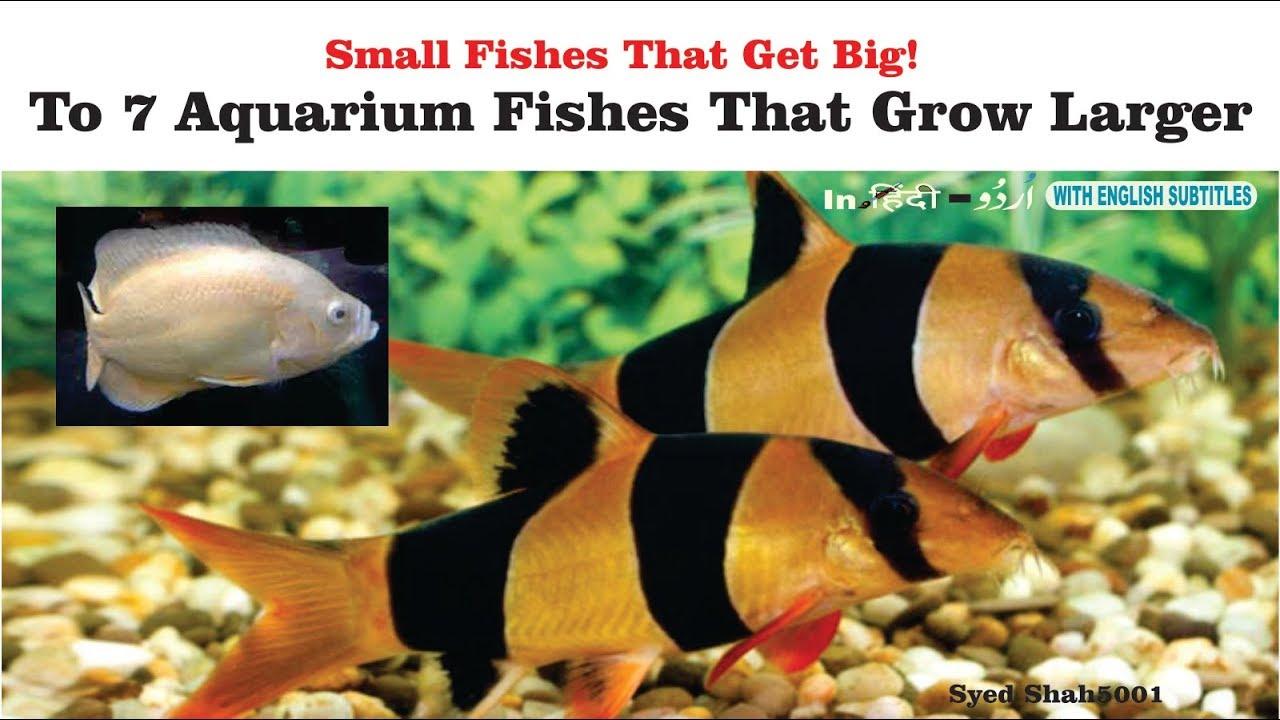 Top 7 Small Aquarium Fish That Get Really Big In Hindi Urdu With