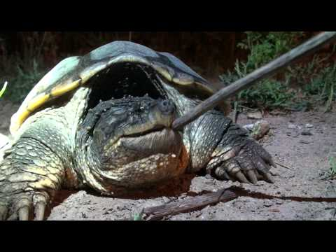 how to anger a large snapping turtle youtube