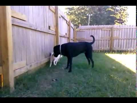 Deaf and blind Aussie puppy Possum wants to play with big Franky
