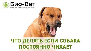 Собака Чихает & Что Делать Если Собака Постоянно Чихает. Ветклиника Био Вет