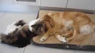Funny Maine Coon Plays With His Golden Retriever. Funny Pet Video