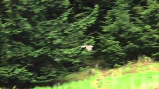 Bald Eagle in Flight - Springfield, VT