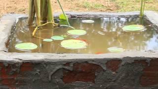 Gold Fish Pond I Louts plant I  aquarium plant