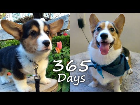 Puppyhood in 365 DAYS: A CORGI PUPPY GROWS UP!
