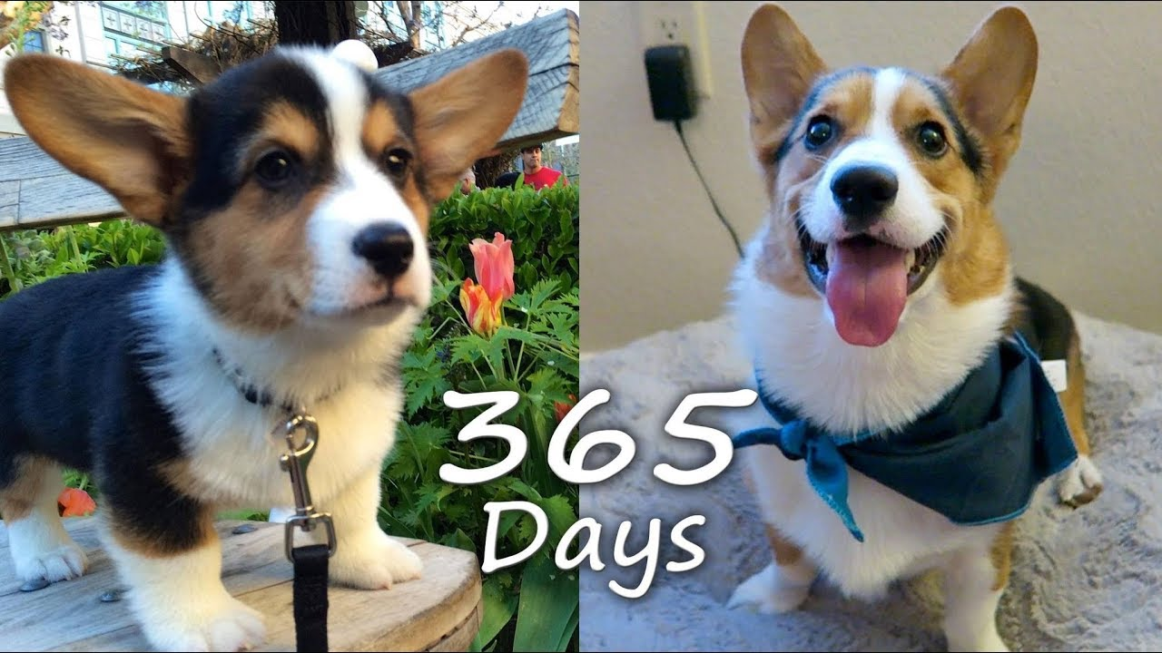 Puppyhood In 365 Days A Corgi Puppy Grows Up Youtube