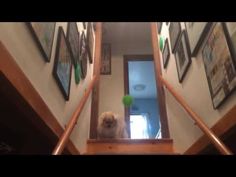 Ringo the Tibetan spaniel throws ball down stairs