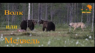 Wild Fauna / Волк или медведь кто хитрее / Wolf against Bear
