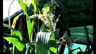 Namibia to implement laws to control GMOs - NBC thumbnail