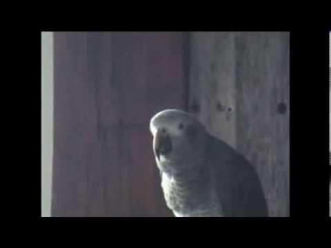 Pogo, Timneh African Grey Parrot Talking