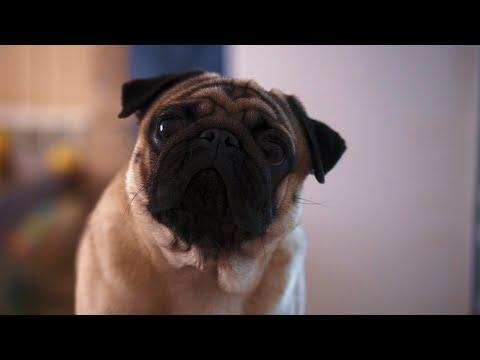 Как и где купить щенка мопса и не попасть на мошенников? Выбираем собаку.
