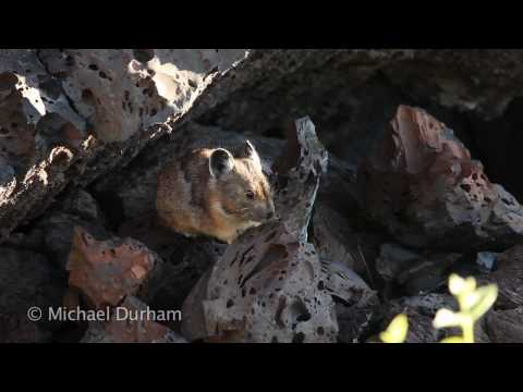 American Pika at Craters of the Moon National Monument