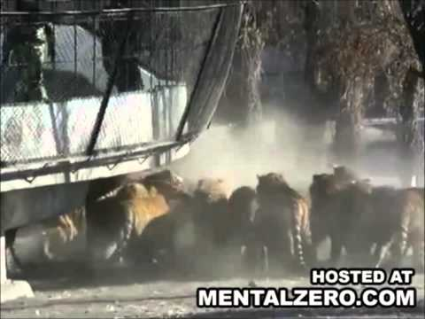 Live Goat Gets Fed to Siberian Tigers at a Chinese Zoo.