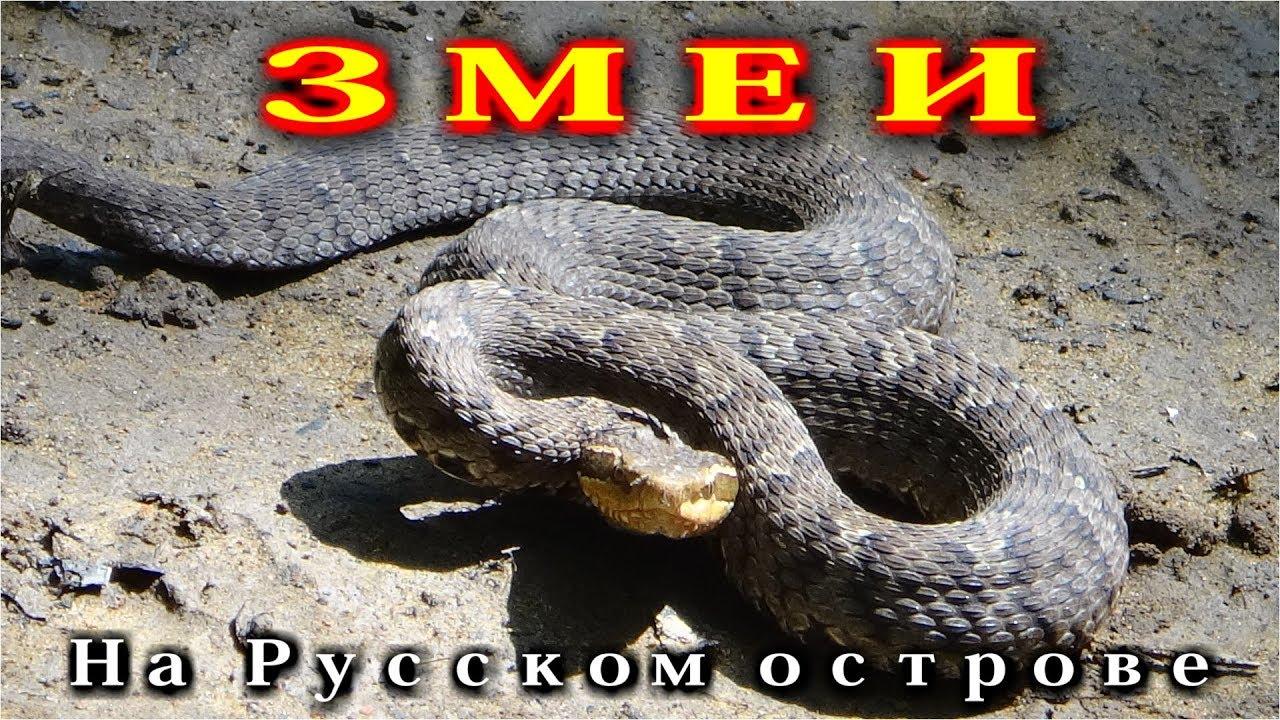 Змеи на Русском острове. - YouTube