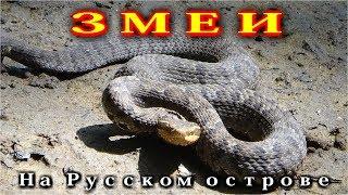 Змеи на Русском острове.