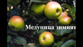 видео Сорт яблони Боровинка: описание сорта, разновидности, посадка и уход за деревьями